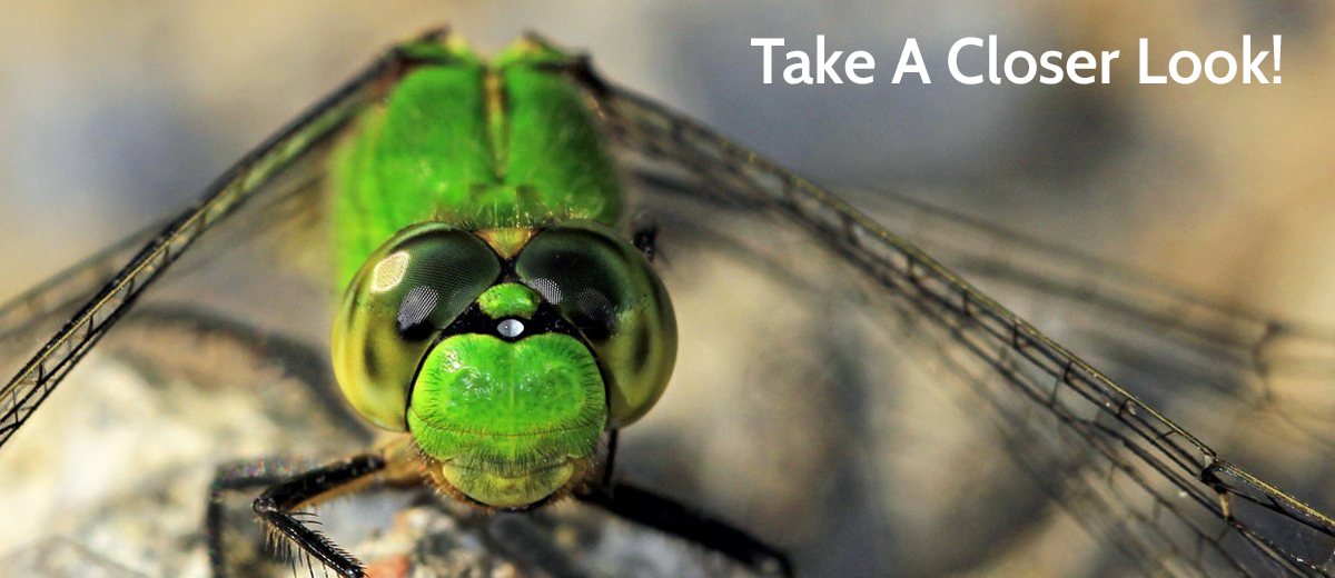 Common_Pondhawk_Dragonfly.jpg