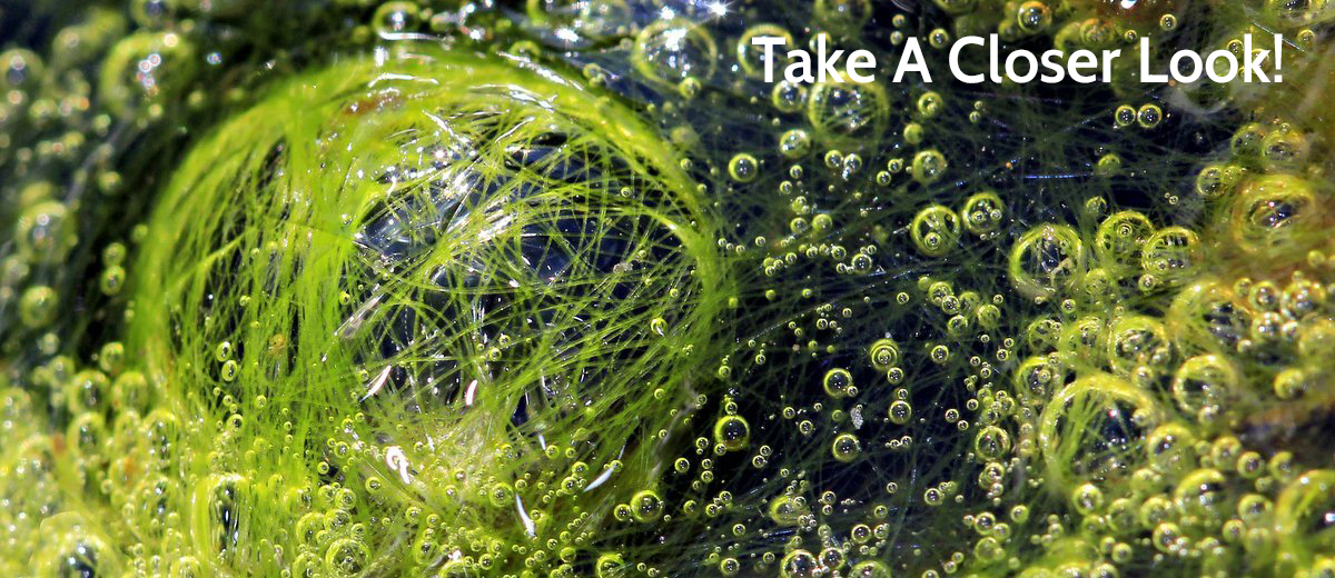 Pond_Algae_Bubbles.jpg