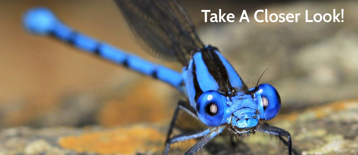 Yelapa_Blue_Dancer_Damselfly.jpg
